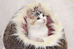 Norwegian forest cat kitten Royalty Free Stock Image