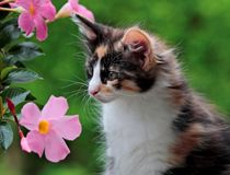 Norwegian forest cat kitten portrait and pink flowers. Norwegian forest cat kitten portrait with pink and  beautiful flowers Stock Photos