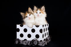 Norwegian Forest Cat kittens in polka dot box. 2 Norwegian Forest Cat kittens in black and white polka dot gift box royalty free stock images