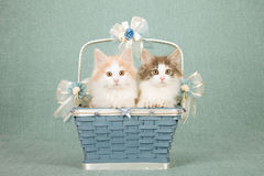 Norwegian Forest Cat kittens sitting inside Wedgewood blue basket decorated with bows and ribbons. Norwegian Forest Cat kittens sitting inside decorated royalty free stock photography