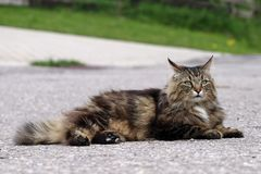 A Norwegian Forest Cat lies on a road. Danger for a cat royalty free stock photo