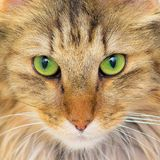 Norwegian Forest Cat. Long-haired cat with green eyes, close-up on eyes, beautiful portrait stock image