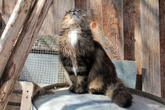Norwegian Forest. A Norwegian Forest cat looks interested to top Stock Photos