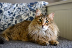 Norwegian Forest Cat. Lying on bed stock photo