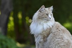 Norwegian forest cat male. In a garden stock photos