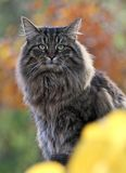 Norwegian forest cat male Stock Image