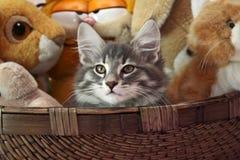 Norwegian forest cat male kitten. Norwegian forest cat kitten in a basket Royalty Free Stock Image