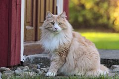 Norwegian forest cat male near the door. Norwegian forest cat near the door stock images