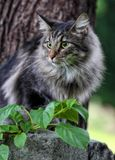 Norwegian forest cat male Stock Photography