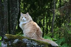 Norwegian forest cat male sitting on a stone. Norwegian forest cat male with a forest background, sitting on a stone royalty free stock photos