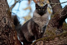 Norwegian forest cat male stands high on tree. Norwegian forest cat male standing on maple tree branch. He wants to see far royalty free stock images
