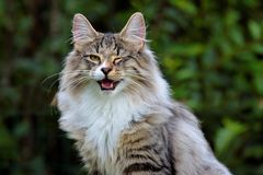 Norwegian forest cat male is winking eye. Norwegian forest cat male winking eye. He has funny face stock photography