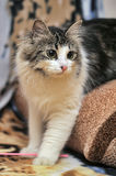 Norwegian Forest Cat Royalty Free Stock Images