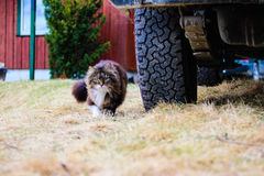 Norwegian forest cat. My norwegian forest cat next to my Pajero offroad vehicle Royalty Free Stock Photography