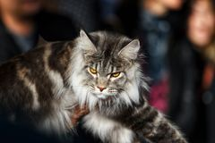 Norwegian Forest Cat. During an exhibition stock images