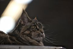 Norwegian Forest Cat. During an exhibition Stock Photography