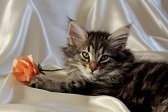 Norwegian forest cat with an orange paper rose on sateen cloth. Small Norwegian forest cat male on white luxury sateen cloth with orange paper rose royalty free stock photos