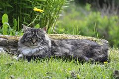 Norwegian forest cat outdoor Royalty Free Stock Photography