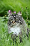 Norwegian forest cat outdoor. Norwegian forest cat sitting in a flower meadow royalty free stock image