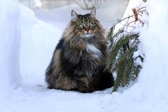 A Norwegian Forest Cat outdoors in the high snow Royalty Free Stock Image