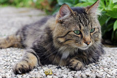 A Norwegian Forest Cat playing with a slug Royalty Free Stock Image