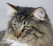 Norwegian Forest Cat portrait Royalty Free Stock Photography