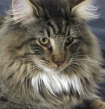 Norwegian Forest Cat portrait. Portrait of a Norwegian Forest Cat stock image