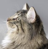 Norwegian Forest Cat portrait Stock Image