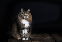 Norwegian Forest Cat Portrait Royalty Free Stock Image