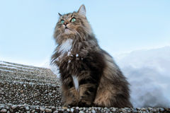 Norwegian Forest Cat. A pretty Norwegian Forest Cat stock photos