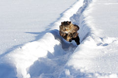 Norwegian Forest cat runs quickly through the snow Royalty Free Stock Photos