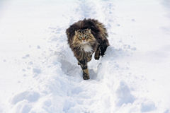 Norwegian forest cat Royalty Free Stock Photo