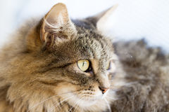 Norwegian Forest Cat side Royalty Free Stock Photography