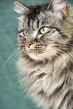 Norwegian forest cat from the side. Portrait of a norwegian forest cat in front of a green background Stock Images