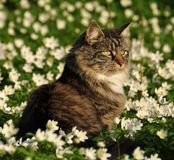 Norwegian forest cat sitting in a flower meadow Stock Images