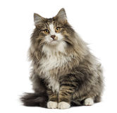 Norwegian Forest cat sitting,. Isolated on white royalty free stock image