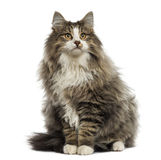 Norwegian Forest cat sitting, looking up, isolated. On white stock photos