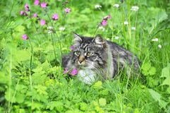 Longhair cat and wild flowers. Norwegian forest cat sitting  in a wild flower meadow Stock Photos