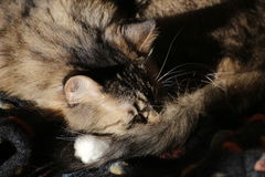 Norwegian Forest Cat Sleeping Stock Photography