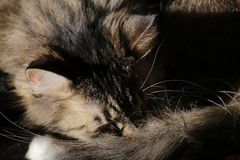 Norwegian Forest Cat Sleeping Stock Images