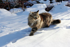 Norwegian forest cat. A norwegian forest cat in the snow royalty free stock images