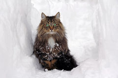 Norwegian Forest Cat in the Snow Royalty Free Stock Photography