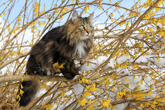 Norwegian forest cat in the spring. A Norwegian forest cat in the spring on a tree royalty free stock image