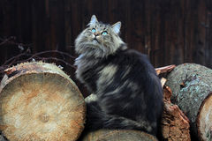 Norwegian Forest Cat Stock Photos