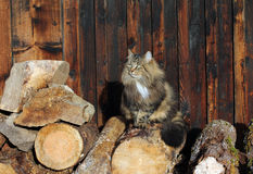 Norwegian forest cat on tree trunks Stock Photography