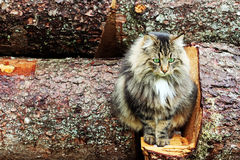 Norwegian forest cat on tree trunks Royalty Free Stock Photo