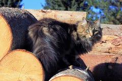 Norwegian forest cat on tree trunks Stock Photos