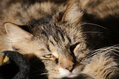 Norwegian Forest Cat Waking Up Royalty Free Stock Images