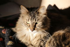 Norwegian Forest Cat Waking Up Stock Photos