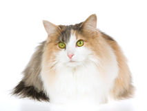 Norwegian Forest Cat on white background Stock Photography